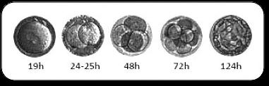 embryon1